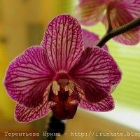Орхидея :: Ирина Терентьева