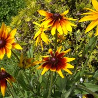 Солнечные цветы :: Елена Плаксина