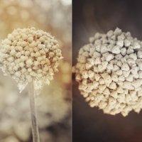wild garlic :: Irina (Azur) Kulakova