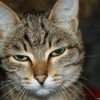 Тася, моя кошка :: ольга березовская