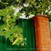 Липовый цвет :: Ирина Терентьева