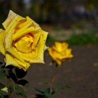 осення роза :: Виктория Неземная