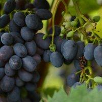 Осенний виноград :: Виталий Грешнов