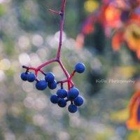 осенний виноград :: Дарья Коротышева