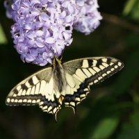 Майская бабочка :: Ольга Викторова