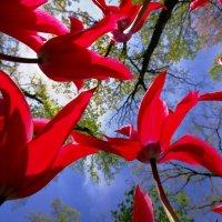 Tulips :: Виталий Авакян