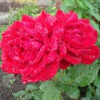 Розы после дождя...... :: Людмила Ларькина