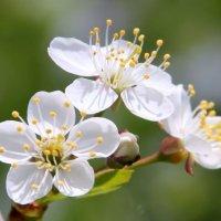 Цветение вишни. :: Анастасия Степанова