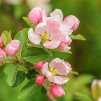Яблони в цвету,весны творенье... :: надежда корсукова