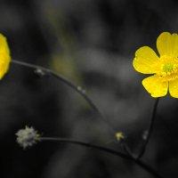 Лютики цветочки... :: Игорь