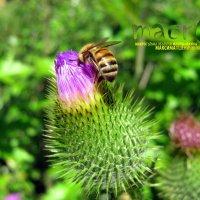 Пчела. :: МАК©ИМ Пылаев-Пшеничников