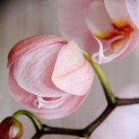 Бутончик орхидеи :: Юлия Семашко