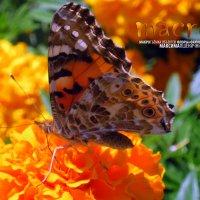 Бабочка. :: МАК©ИМ Пылаев-Пшеничников