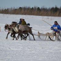 гонки на оленьих упряжках. :: Лариса Красноперова