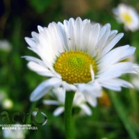 Ромашка. :: МАК©ИМ Пылаев-Пшеничников