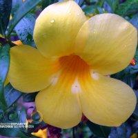 Жёлтый цветок. :: МАК©ИМ Пылаев-Пшеничников