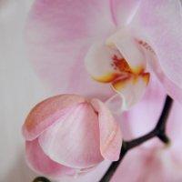 Орхидея :: Юлия Семашко