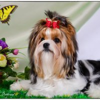 Собачка породы Бивер! :: Anna Dyatchina