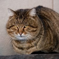 Соседский  кот :: Виктор