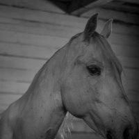 конь :: ирина шалагина