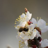 Пчелка :: Руслан Грицунь