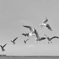 Волжские чайки! :: Владимир Шошин
