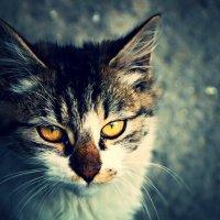 коти :: Дарья Метелина
