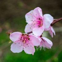 Цветение персика :: Валерий Ткаченко