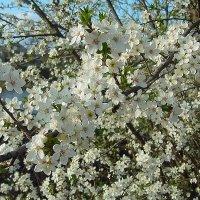 Сады в цвету :: Lara