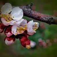 Яблоневый цвет :: Андрей Власов