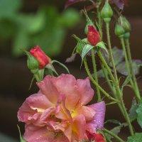 Роза :: Надежда Лаптева
