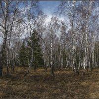 Весенний лес. :: Евгений Герасименко