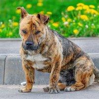 Грустный и бездомный пёс :: Анатолий Клепешнёв