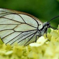 Бабочка :: Viacheslav