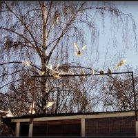 Голуби на голубятне. :: Ольга Кривых