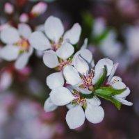 Пора цветения деревьев. Войлочная вишня. :: Александр Крупский