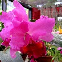 орхидея 2 :: Елена Байдакова