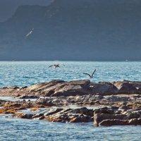 Бухта морской капусты - чайки на ветру :: Boris Khershberg