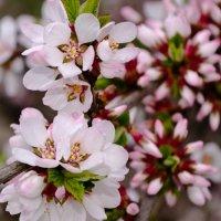 Цветущая войлочная вишня. :: Александр Крупский