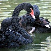 Вот пара черных лебедей :: Наталья Лакомова