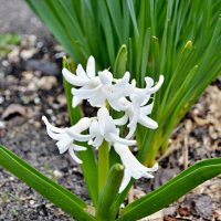 Весенний цветок :: Александр Максименко