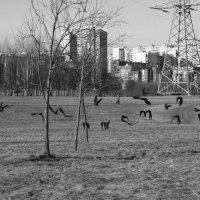 черные птицы :: Natali Kosheleva