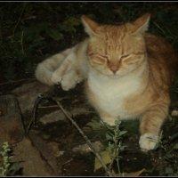 Кот поёт глаза прищуря... :: Ольга Кривых