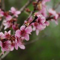 Весеннее цветение :: Ирина Лядова