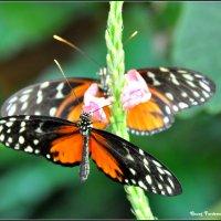 Бабочки :: Georg Förderer