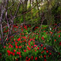 цветут тюльпаны :: Olga Zhukova