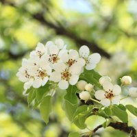 расцветали яблони и груши... :: Olga Volkova