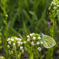 Бабочка :: Анна Каспер