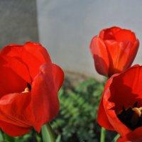 Тюльпаны :: Алексей Немошкалов