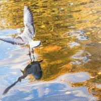 чайка в осеннем пруду :: Александра Мустафина